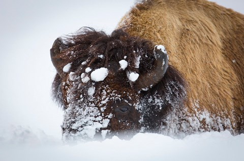 A bison head covered in snow balls with the nose obscured by snow