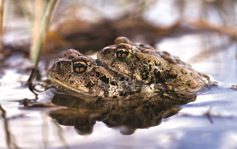 Two boreal toads nestled together