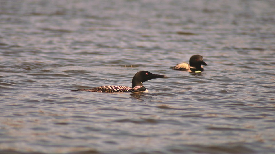 Two birds with red eyes, black heads, and striped necks swim in a lake