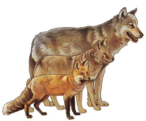 An illustration of a fox, coyote, and wolf in comparison to each other