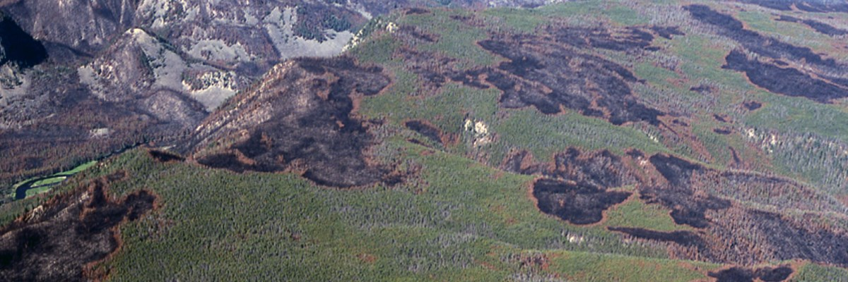 Charred mosaic patterns in trees on a mountain