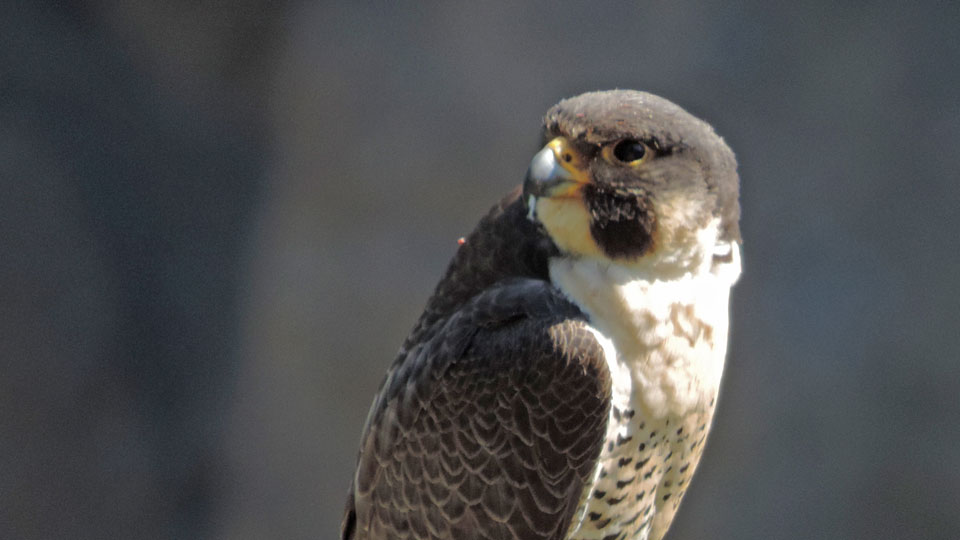 Head And Shoulders Look At A Peregrine Falcon