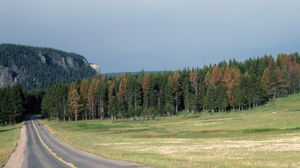 Lodgepole pine along the road