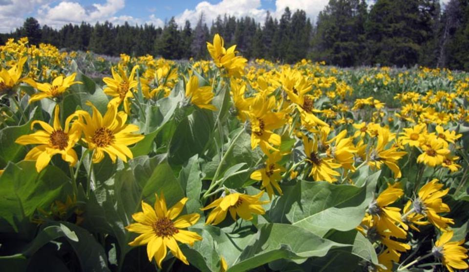 Wildflowers yellowstone national park us national park service mightylinksfo