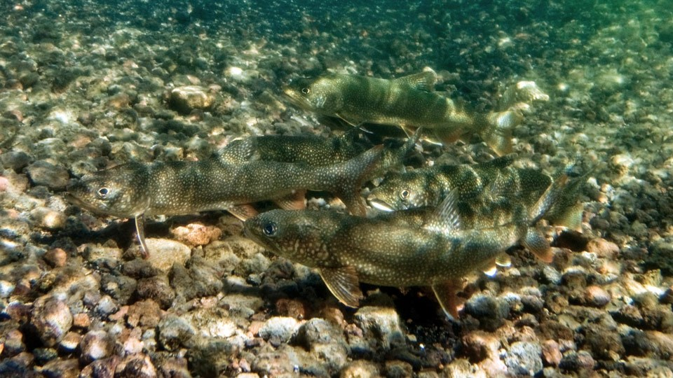 Lake trout spawning