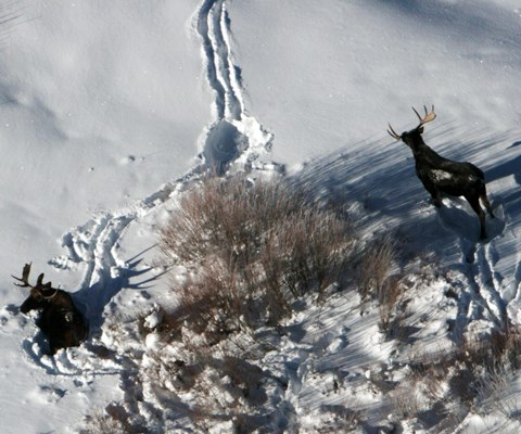 Two bull moose near tracks in snow and a large bush from the air