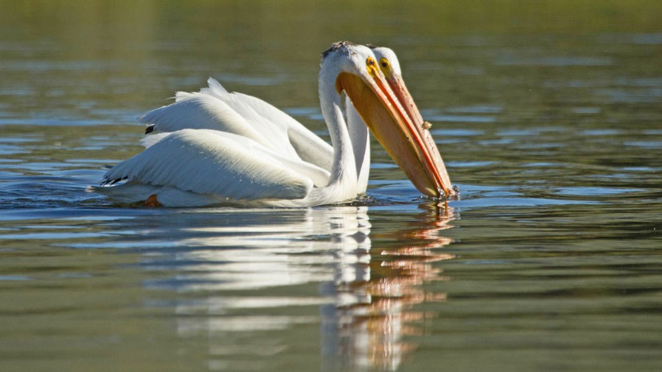 Two American white pelicans swimming on a lake.