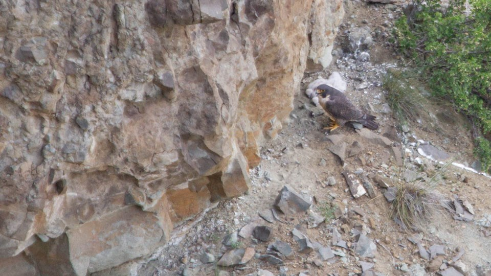 A peregrine falcon stands next to its eggs on a rock ledge.