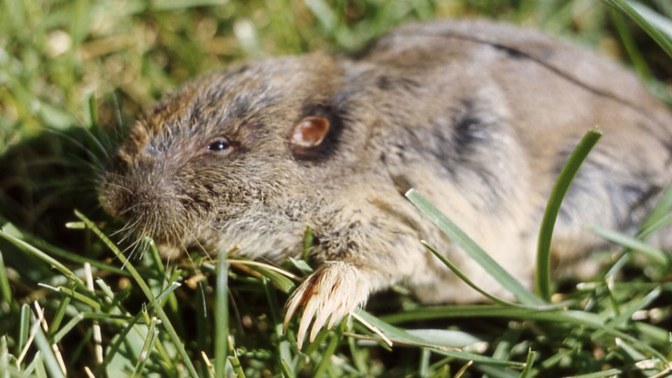 Pocket gopher with a view of its long, sharp claws