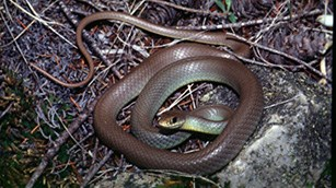 A dark-colored snake coiled on twigs and grass