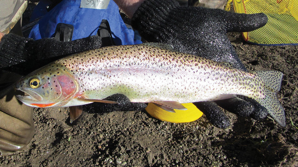 Hybrid fish of a cutthroat trout and rainbow trout