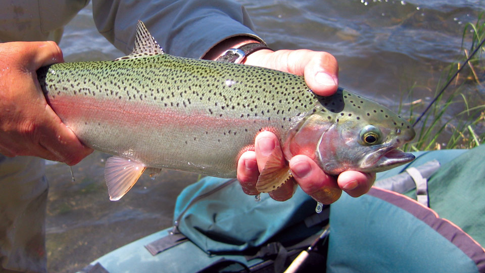 Rainbow trout in the hands of an angler