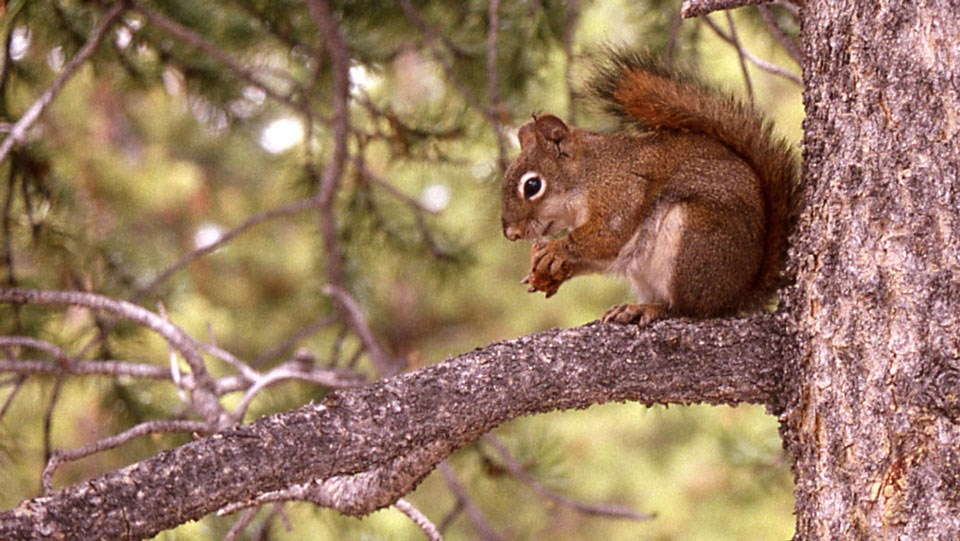 Red squirrel sitting on a branch in a tree with a cone.