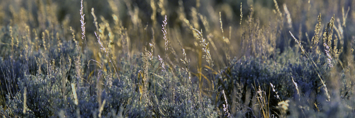Grass grows above sagebrush