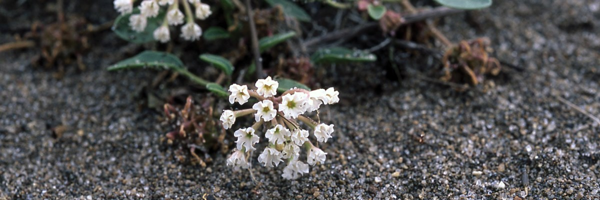Small white blooms above sand