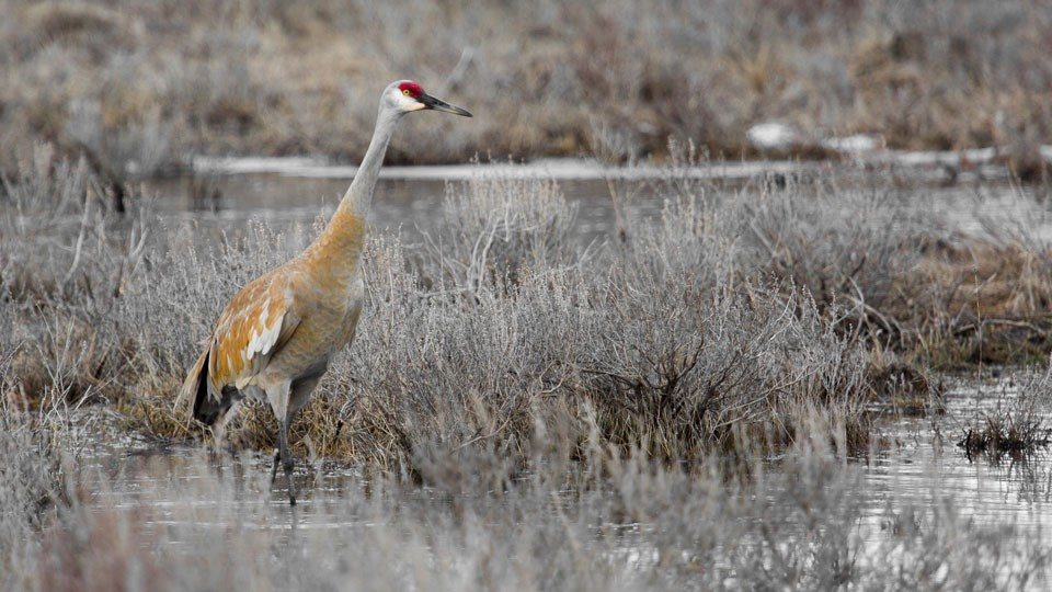 Sandhill crane searching for food in a marsh.