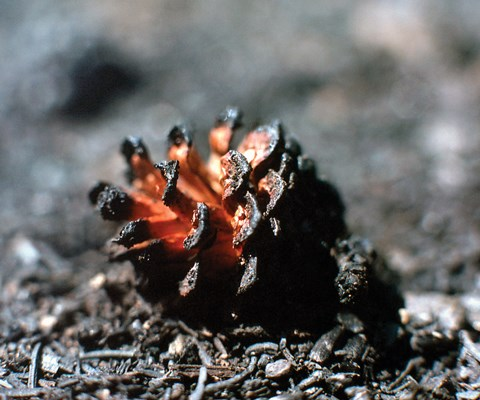 An open pine cone with red-glowing center and charred edges