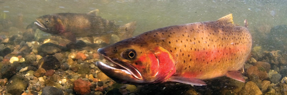 A spotted fish with red cheek underwater