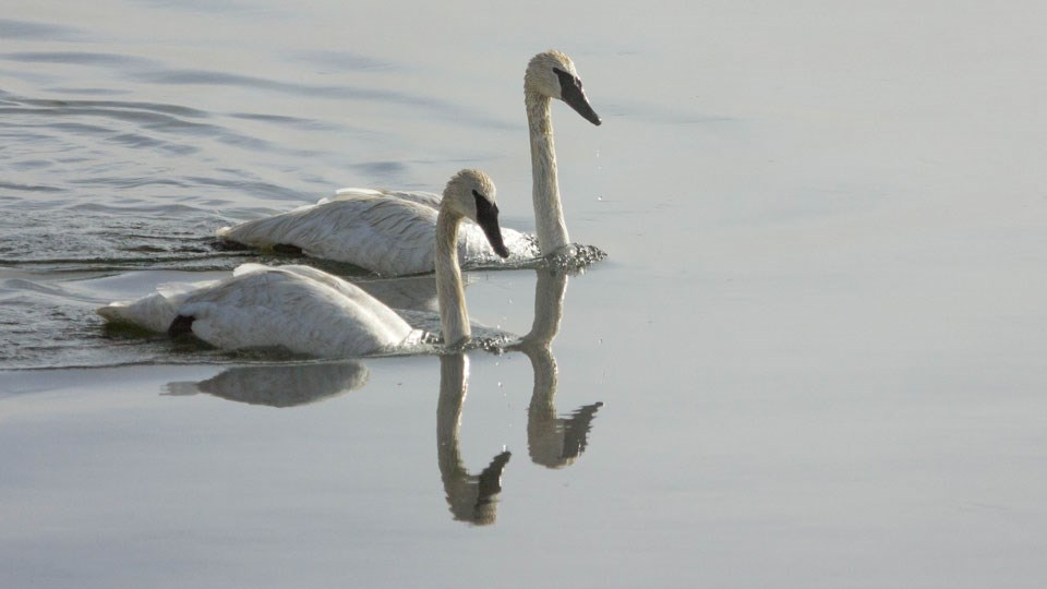 A pair of swans swim across a lake
