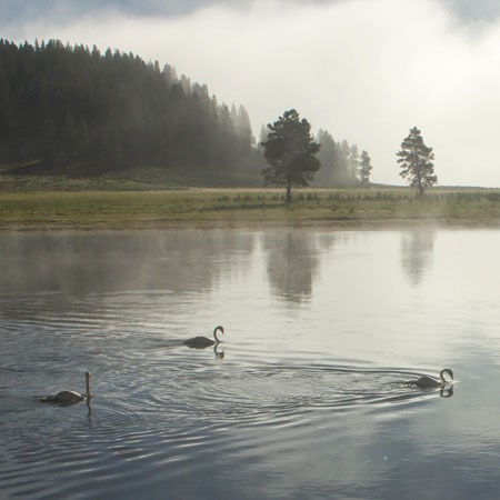 Three swans swimming along a waterway on a misty morning.