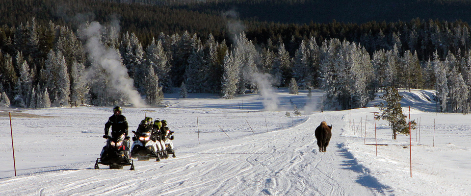 A line of five snowmobiles on a groomed road stop and look at a bison walking in the opposite direction with steam rising from the ground