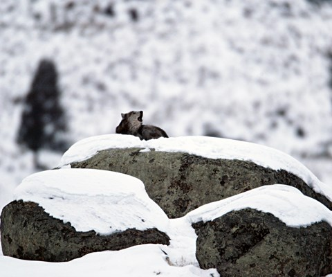 A wolf on top of snow-covered rocks howls