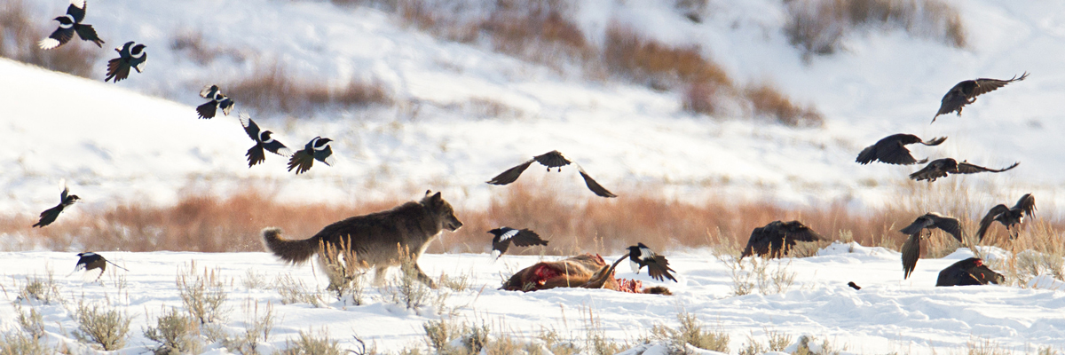 Magpies and ravels fly above a bloody carcass in snow approached by a moving wolf