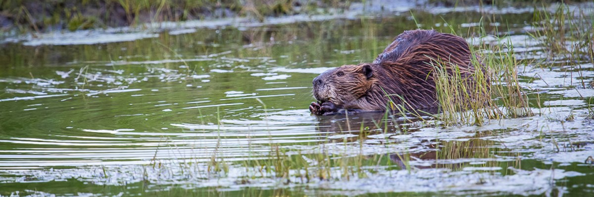 A beaver chews on something while stooped in water with grass growing out of it