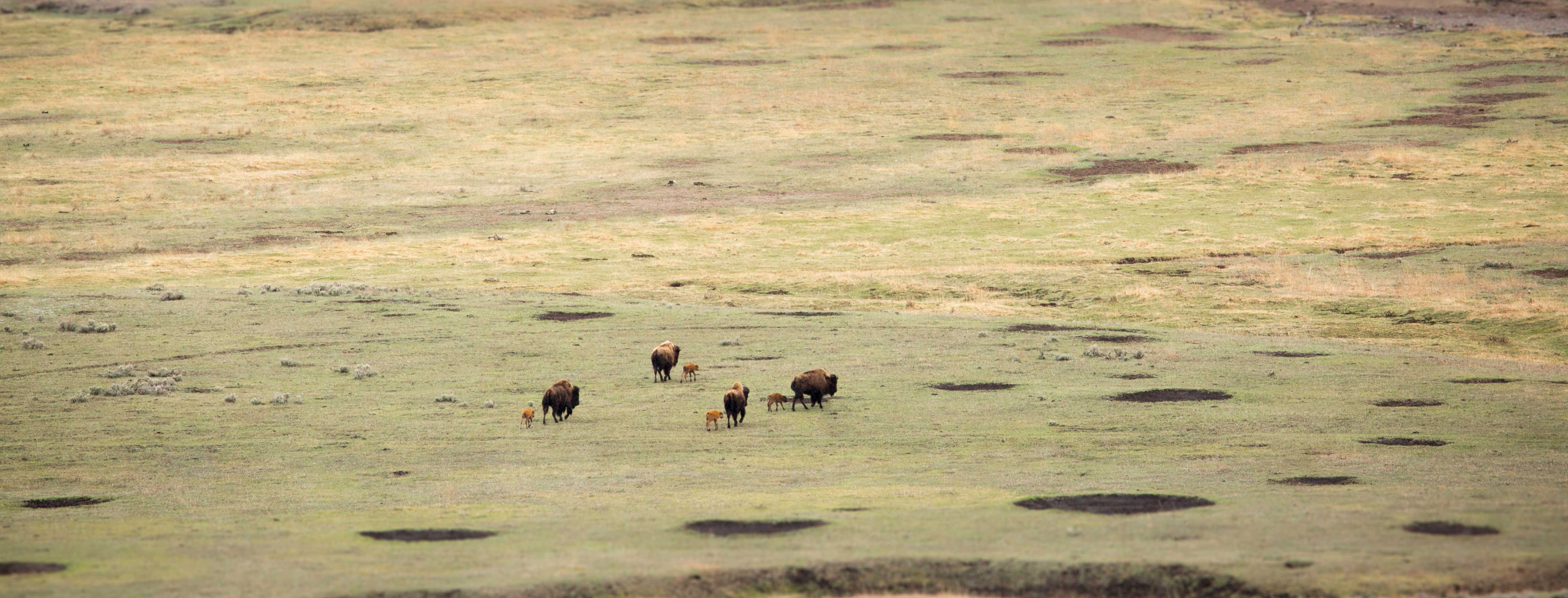 Bison cows and calves walk across valley