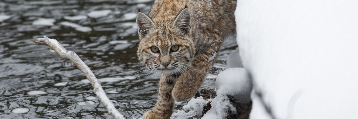 A bobcat walks across a snow-covered branch at the edge of water