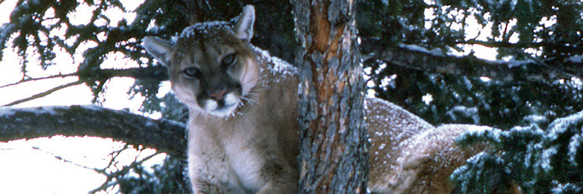 A cougar looks at a photographer from a tree