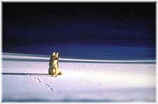 A lone Coyote gazes into the distance in this silent winter scene.