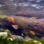 Underwater image of three cutthroat trout.