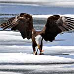 An eagle perches on the snow while eating a trout.