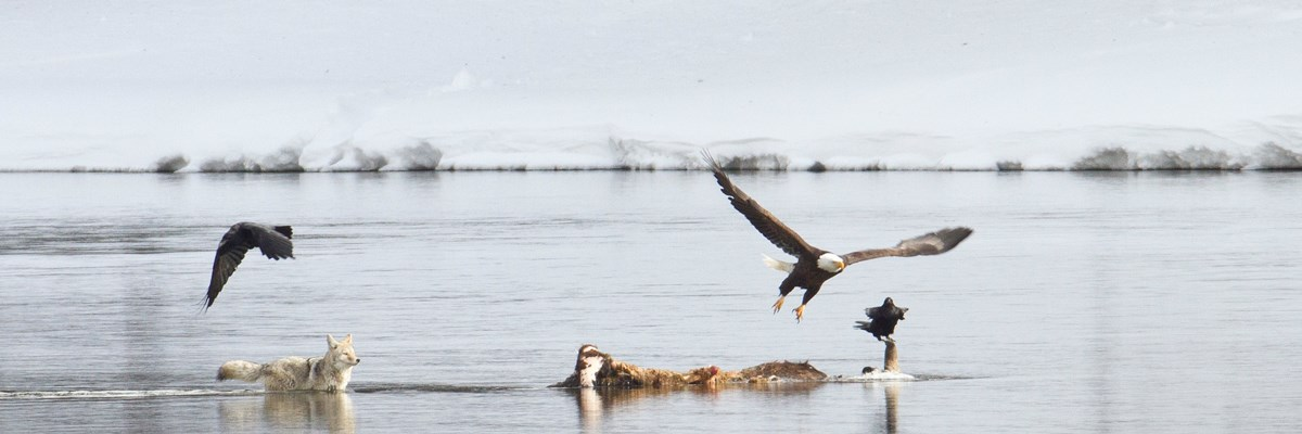 A coyote approaches a carcass protruding from a calm river as ravens and a bald eagle fly off