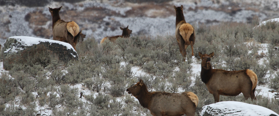 Cow elk on a sagebrush hill with glacial boulders