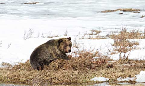Grizzly bear on buried carcass