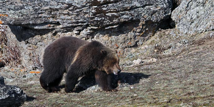 A grizzly bear walks near large outcroppings of rocks