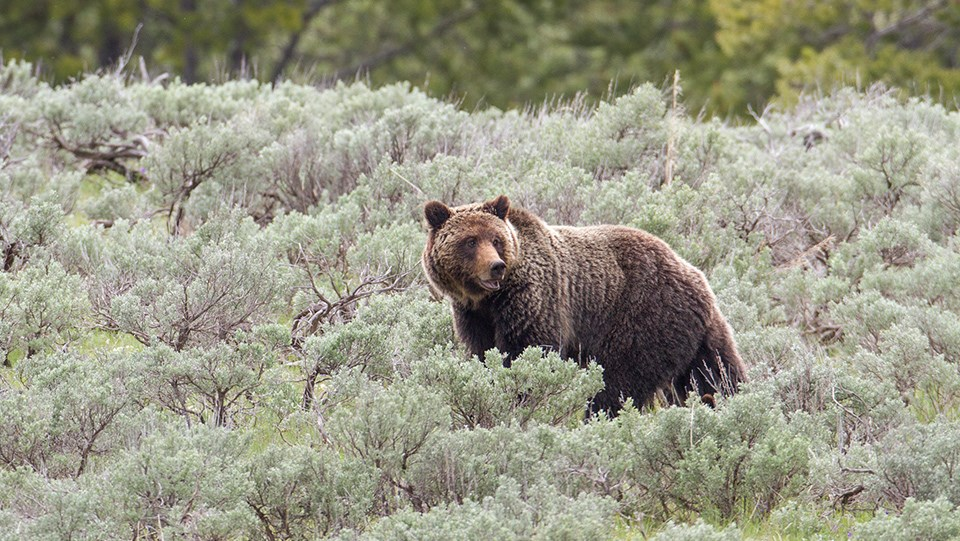 A grizzly bear in surrounding sagebrush.