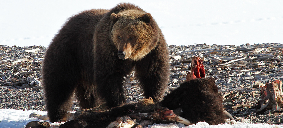 A grizzly bear on a bison carcass near Yellowstone Lake