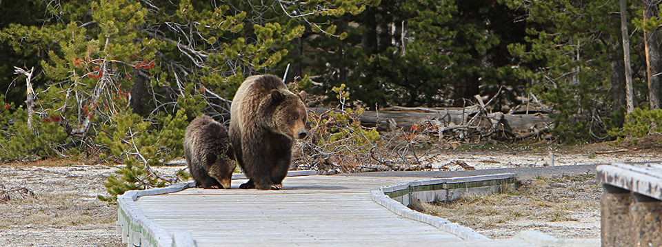 A grizzly sow and cub on the boardwalk at Old Faithful