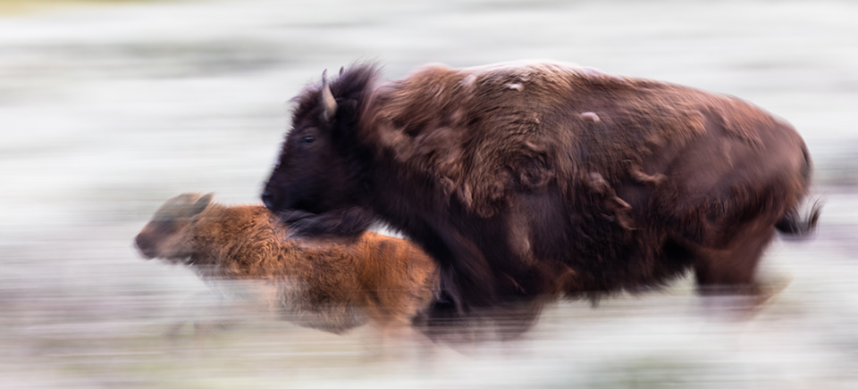 Bear gets hard rod ridden