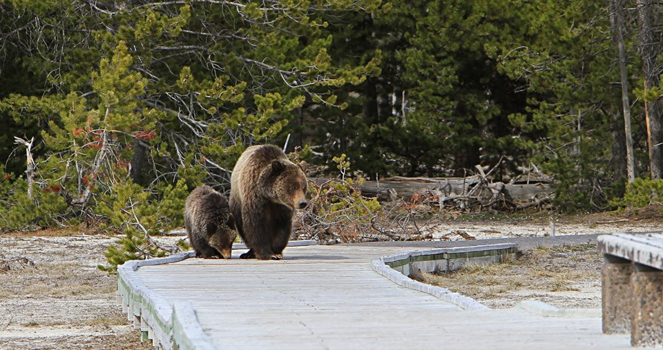 A grizzly sow and cub on the boardwalk near Old Faithful