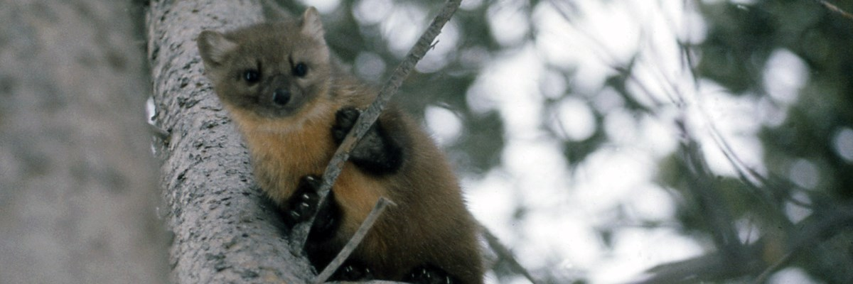 A marten hangs from a branch in a tree