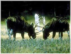 Two moose grapple over territory.