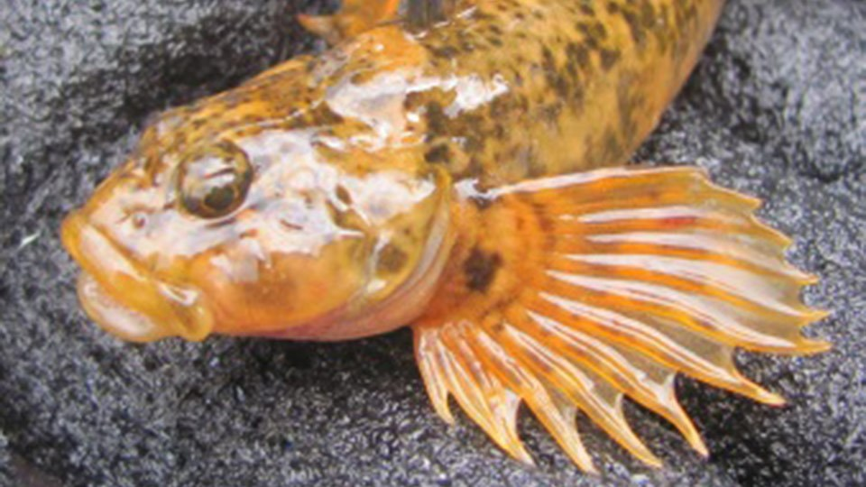 A mottled sculpin laying on rocks
