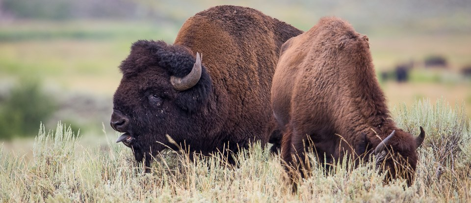 Bull bison bellow during rutting season to display their dominance.