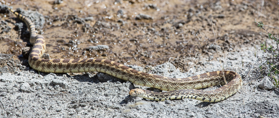 A bull snake on the terraces at Mammoth Hot Springs