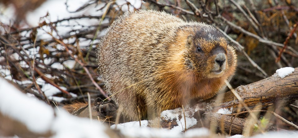 A yellow-bellied marmot in a snow-covered woody area