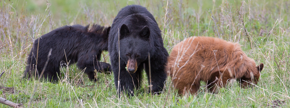Pictures of black bears to color